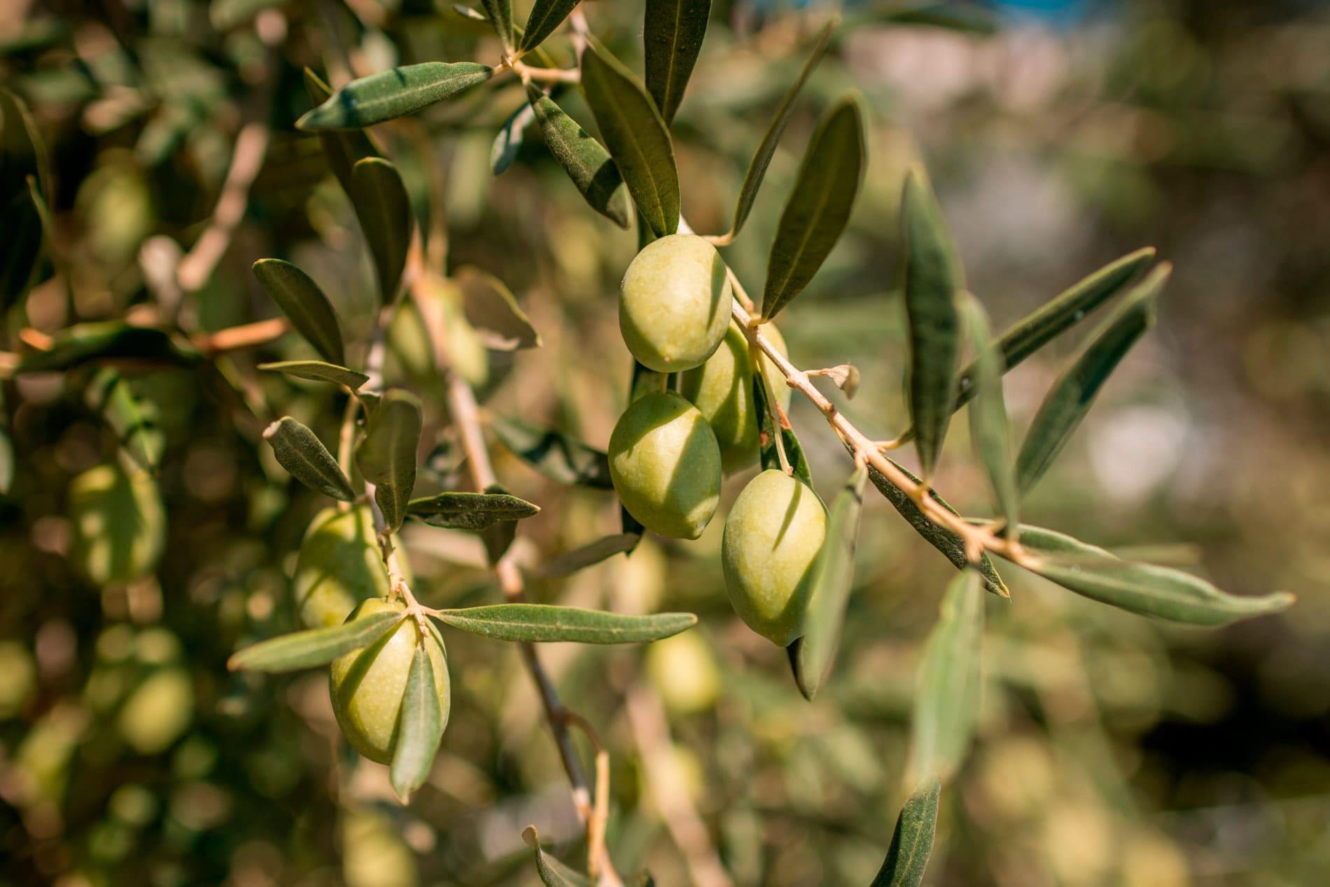 """¿Por qué es el aceite de oliva un """"superalimento""""?"""